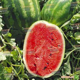 Карнаката F1 (Карнак F1) семена арбуза тип Кримсон Свит раннего 70-80 дней 8-10 кг окр. (United Genetics)