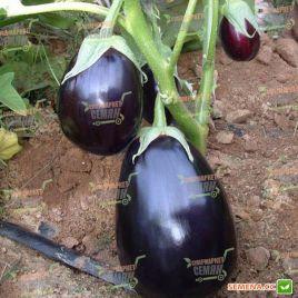 Перфекшн F1 семена баклажана (United Genetics)