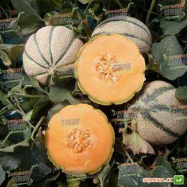 Портенто F1 семена дыни ранней 1,3-1,6 кг окр. (United Genetics)