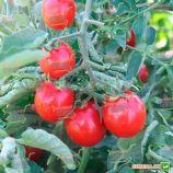 Стромболино F1 семена томата дет. черри (United Genetics)