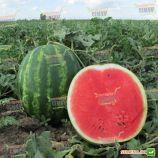 Топ Мара F1 семена арбуза тип кр.св. среднего 80-85 дн. 12-16 кг окр. (United Genetics)