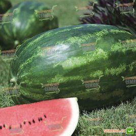 Амфион F1 семена арбуза тип Кримсон Свит раннего 60-70 дн. 10-12 кг (Takii Seeds)