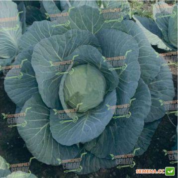 Чирз F1 семена капусты б/к среднеранней (Takii Seed)