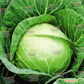 Чирз F1 семена капусты б/к среднеранней 75-80 дн. 2-2,5 кг (Takii Seed)