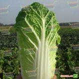 Эндуро F1 (Паркин F1) семена капусты пекинской ранней 60 дн. 1,2-1,8 кг (Takii Seeds)