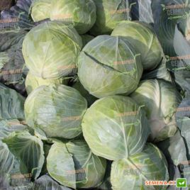 Глоуб Мастер F1 (Компас F1) семена капусты б/к средней 75-80 дн. 2-5 кг (Takii Seeds)
