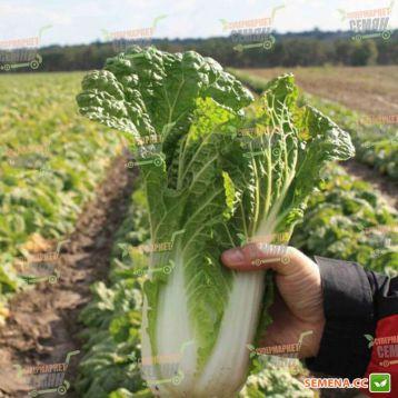 Ориент Стар F1 семена капусты пекинской (Takii Seeds)