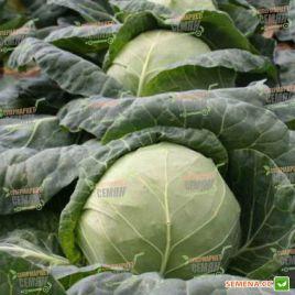 Ортус F1 семена капусты б/к ультраранней 52-55 дн. 1-1,5 кг (Takii Seed)