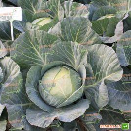 Отм Квин F1 капусты б/к среднеранней 75-80 дн. 2-4 кг (Takii Seeds)