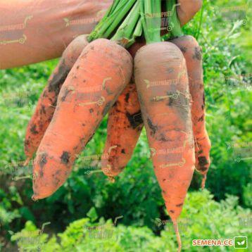 Проминенс F1 семена моркови Шантане (Takii Seeds)