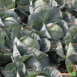Структа F1 семена капусты б/к среднепоздней 90-92 дн. 2-3 кг (Takii Seeds)