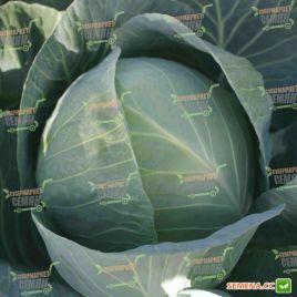 Структа F1 семена капусты б/к среднепоздней (Takii Seeds)