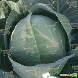 Структа F1 семена капусты б/к среднепоздней 110 дн. 2-3 кг окр. (Takii Seeds)