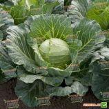 Сунта F1 семена капусты б/к ранней (Takii Seed)