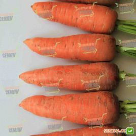 Танжерина F1 (T-825 ) семена моркови Шантане (Takii Seeds)