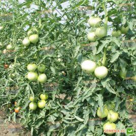 ТЕТМ 010 F1 семена томата индет. розового 200-220 гр. (Taki Seeds)