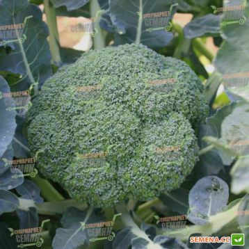Вольта F1 семена капусты брокколи (Takii Seeds)