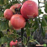 Глория F1 семена томата индет раннего окр-прип розового 230-260г (Solare Sementi)