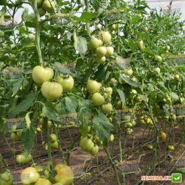 Глорианс F1 семена томата индет. с носиком раннего окр. 230-260г роз. (Solare Sementi)