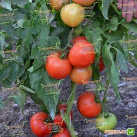 Кассандра F1 семена томата дет. раннего окр. с нос. 190-220г (Solare Sementi)