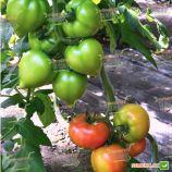 Пинк Ноуз F1 семена томата индет. с носиком раннего 90-95 дн. сердц. 180-210г роз. (Solare Sementi)