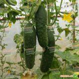 Посейдон F1 семена огурца корнишона партенокарп. раннего 40-45 дн. 11-13 см (Solare Sementi)