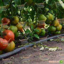 Риксос F1 семена томата дет. раннего окр. с нос. 170-210г (Solare Sementi)