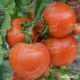 Риксос F1 семена томата дет. раннего 100-105 дн. окр. с нос. 170-210г красный (Solare Sementi)