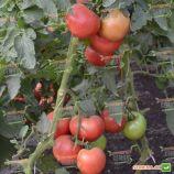 ТS 02-0857 F семена томата индет раннего окр-прип розового 220-230г (Solare Sementi)