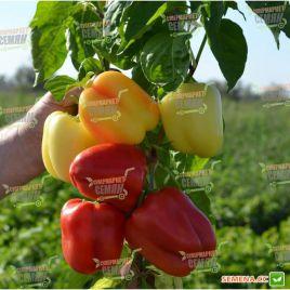 ТС 09-0214 (TS 09-0214) семена перца сладкого тип Блочный среднего 100-110дн. корот.куб. 170-220г. 7-8мм бел./красн. (Solare Sem