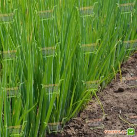 Леон F1 (TS 18-5714 F1) семена лука на перо (Solare Sementi)