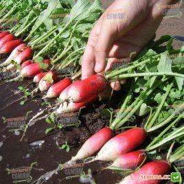 Французский завтрак семена редиса с БК цилинд. 20-25 дн. (Servise plus (GSN) СДБ)