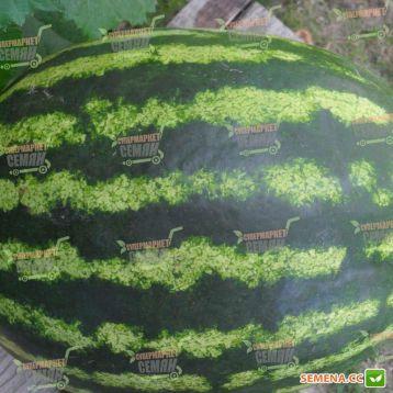 Кримсон Свит семена арбуза (Servise plus (GSN)
