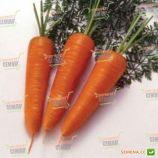Курода семена моркови (Servise plus GSN)