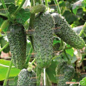 семена огурца анника f1