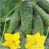 Элиза F1 семена огурца корнишона партенокарп. ультрараннего 35-40 дн. 8 см (Satimex КЛ)