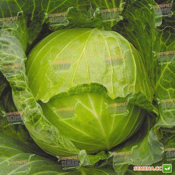 Июньская семена капусты б/к ранней 92-100 дн. 1-2,5 кг окр. (Satimex СДБ)