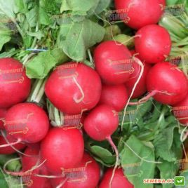 Корунд семена редиса 23 дн. (Satimex КЛ)