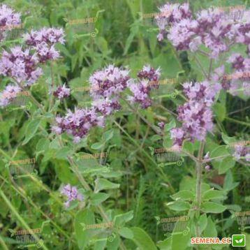 Материнка обыкновенная семена (SX)