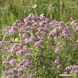 Материнка обыкновенная семена (Satimex СДБ)