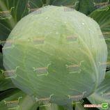 Респект F1 семена капусты белокочанной поздней (SX)