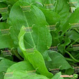 Широколистий семена щавля (Satimex)