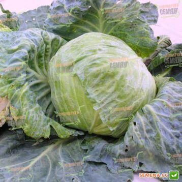 Славанова семена капусты белокочанной среднепоздней 110-125 дн. 2-4 кг окр. (Satimex СДБ)