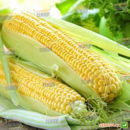 SX 659 семена кукурузы суперсладкой (SX)