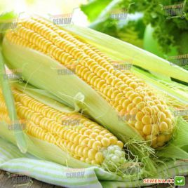 SX 659 семена кукурузы сахарной Se ранней 75-80 дн. 19см 16р. (Satimex СДБ) НЕТ ТОВАРА