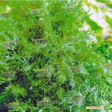Тетра семена укропа (SX)