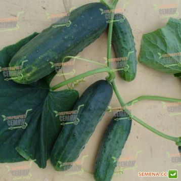 семена огурца забава f1