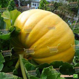 Жовтий велетень насіння гарбуза (SX)