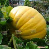 тыква желтый гигант