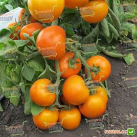 Золотая королева семена томата полудет. среднего 110-115 дн. окр. 150-200г желт. (Satimex КЛ)